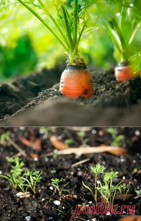 СУПЕР способ посадки моркови! | 6 соток