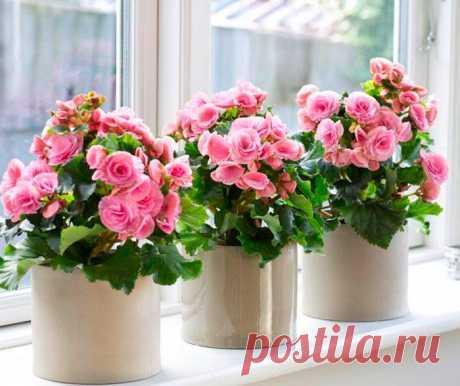 Бегония Элатиор Бегония элатиор ― это наиболее популярный вид у цветоводов и его зачастую путают с клубневым. Однако данный вид этого прекрасного цветка является гибридным, и его получают путем скрещивания клубневой ...