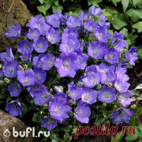 Колокольчик карпатскийголубой (15 семян)