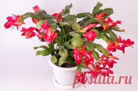 Цветок декабрист: размножение и особенности ухода   Идеальный огород   Яндекс Дзен