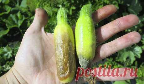 Почему кабачки желтеют и гниют маленькими - 4 основные причины и способы их решения.