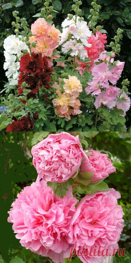 Шток-роза - выращивание из семян: когда сажать, выбор способа посадки, лучшие сорта цветка