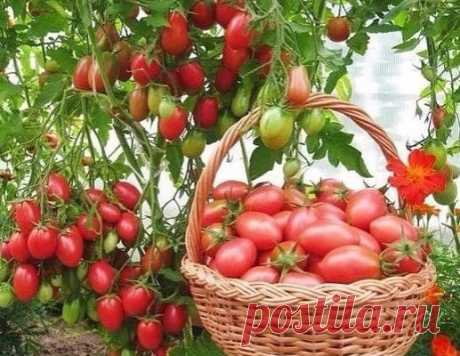 Чтобы было больше помидоров, чем зелени на них, нужно....