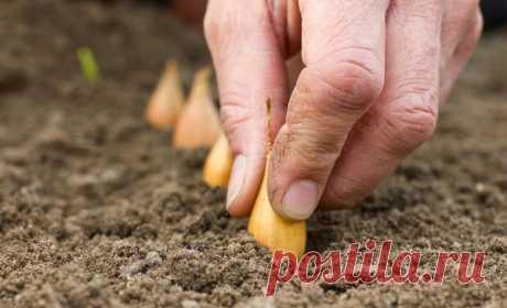 Несколько простых советов тем, кто собрался сажать лук