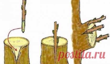 Дедовский способ прививки деревьев для большого урожая  Способ прививки за кору применяют, когда к взрослой или старой яблони хотят привить один или несколько новых (более зимостойких, урожайных или устойчивых к болезням) сортов.Тогда большинство скелетны…