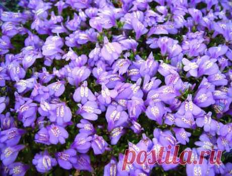 Мазус ползучий - цветочный ковер в саду