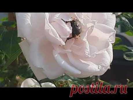 Баковая смесь от бронзовок и алёнок на розах