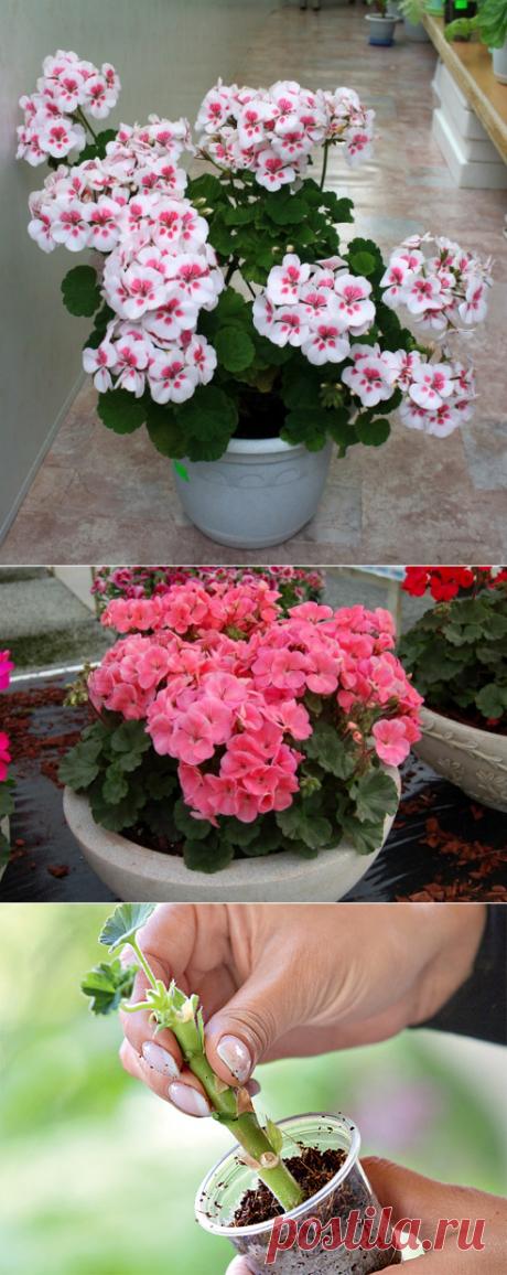 Secrets of magnificent blossoming of a geranium | 6 hundred parts