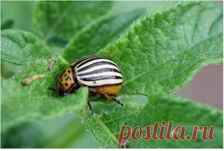 Интересный способ как прогнать колорадского жука с огорода