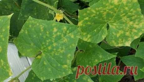 Que hacer si se ponen amarillo las hojas de los pepinos