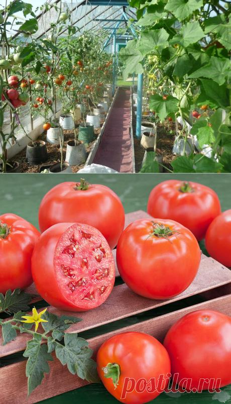 Томаты в ведрах: супер ранний урожай! — 6 соток