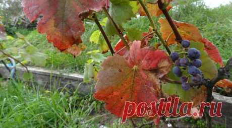 Подготовка винограда к зиме на Supersadovnik.ru