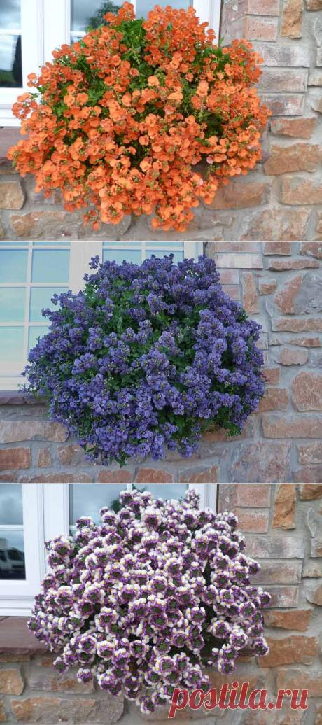Многоликая диасция  для цветника
