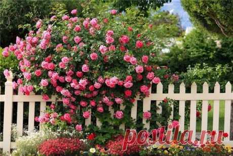 Парковая роза.К парковым розам относят старинные садовые розы, окультуренные декоративные шиповники (альба, роза-ругоза) и их современные гибриды, зимостойкие сорта канадской и американской селекции. Есть сведения, что в XIX веке в России в садах широко были распространены сорта розы французской, розы дамасской (Rosa damascene), розы столепестной (Rosa centifolia). Причем многие из них успешно зимовали без укрытия, под снежным покровом.