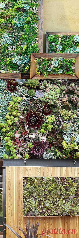 Мини-сад из суккулентов. Миниатюрный сад из суккулентов в деревянных ящиках выглядит красиво и декоративно, особенно если его … повесить на стену! Смотрите фотографии, как своими руками сделать такой элемент зеленого декорирования.