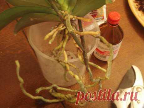 Фотоурок по пересадке орхидей — Клуб любителей орхидей