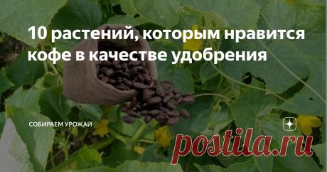 10 растений, которым нравится кофе в качестве удобрения