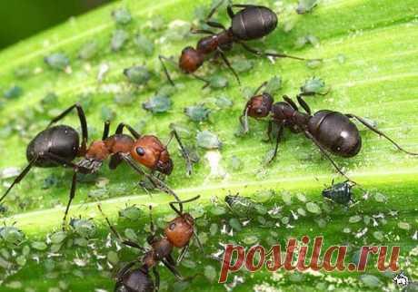 14 способов избавиться от муравьев | 6 соток