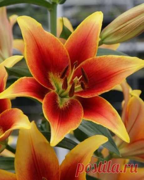 5 причин измельчания луковиц у лилий