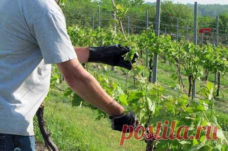 Обрезка винограда — самый правильный путь к увеличению плодоношения