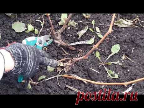 Обрезка однолетних, двухлетних кустов винограда на зиму