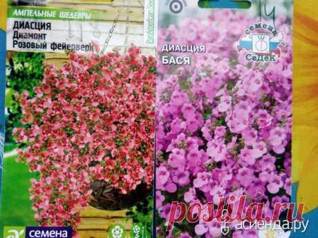 Диасция ампельная, шикарный цветок всем советую.: Группа Клумбы и цветники