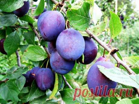 HOW TO PLEASE PLUM THAT DID NOT DISAPPEAR?  \u000d\u000a\u000d\u000a\u000d\u000aPlum falls down\u000d\u000aPlums have an unpleasant feature: slightly that was not pleasant – fruits begin to be showered at once. And so intensively that it is possible to lose all harvest. That it did not occur, it is necessary …