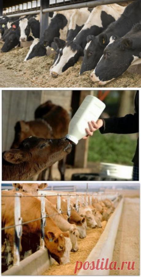 Влияние системы кормления крупного рогатогоскота на качество молока-сырья - БиоКорова
