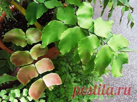 Адиантум сохнет - причины заболевания, как решить проблему, видео Причины усыхания адиантума при выращивании в домашних условиях. Как создать папоротнику идеальные условия: приготовление правильной почвосмеси и поддержание высокой влажности воздуха. Потребность растения в освещении и поливе.