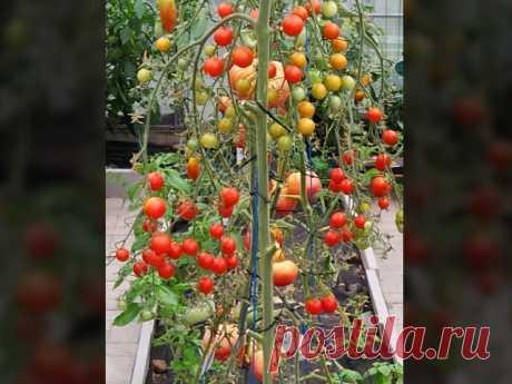 Семь сортов томатов которые я снова посажу и в следующем году. Томаты которые не подвели и дали щедрый урожай.