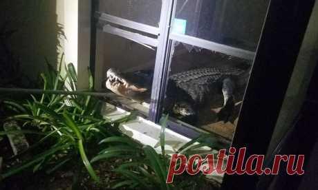 Аллигатор забрался в дом через окно и устроил погром . Тут забавно !!!
