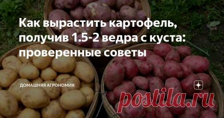 Как вырастить картофель, получив 1.5-2 ведра с куста: проверенные советы Собрать 40 вёдер с 20-ти кустов картофеля - задача несложная, если знать и применять агротехнические приёмы. Полезные советы, как вырастить такой урожай, описаны в статье.