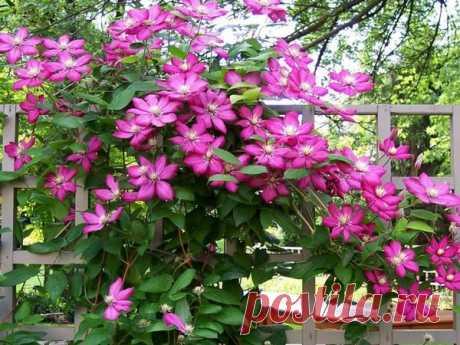Обильное цветение клематиса – зависть всех соседей. Как добиться?   У-Дачный канал советы от Арины   Яндекс Дзен