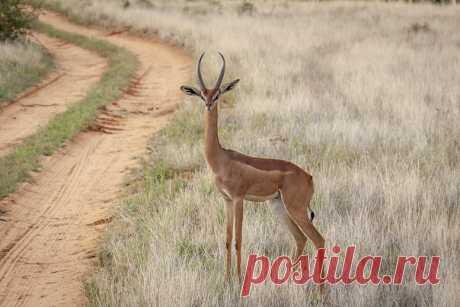 Статный самец геренук позирует перед камерой. Парк Самбуру, Кения. Автор кадра - Олег Домалега: