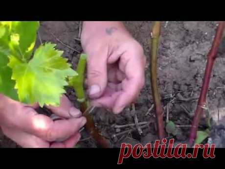 Зелёная прививка винограда