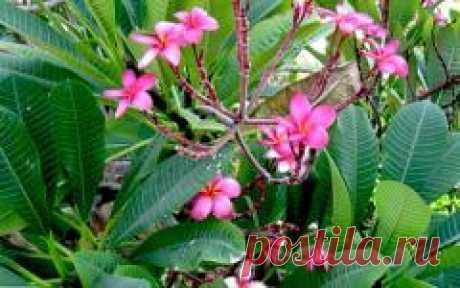 Цикламену нужен отдых (Блог о растениях yu8l8ya)