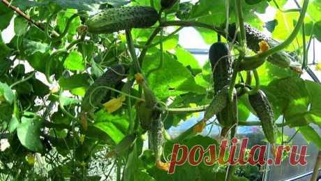 Выращивание огурцов на крапиве. Метод, который поражает результатом. | Любимая Дача | Яндекс Дзен