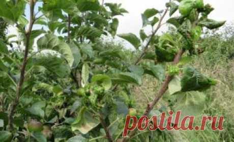 Почему на яблоне и груше скручиваются листья? Что делать   6 соток
