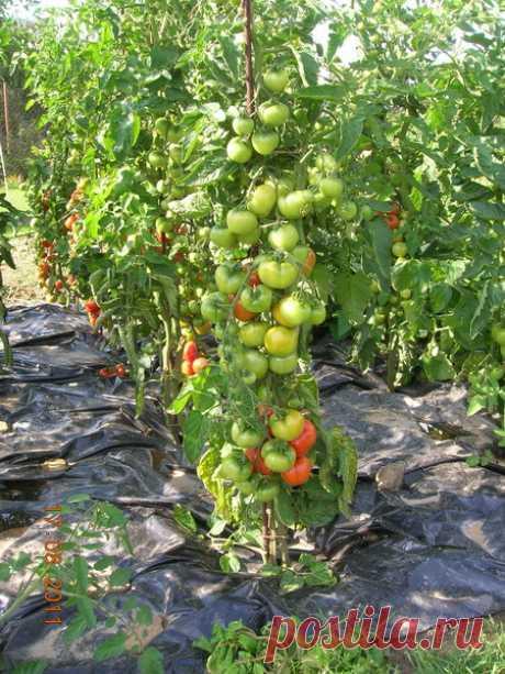 «Не ожидал такого интереса к моим помидорам!» — 6 соток