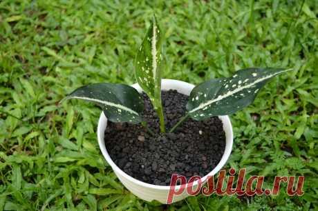 Аглаонема - неприхотливое и полезное комнатное растение. Особенности ухода, виды | Комнатные растения | Яндекс Дзен