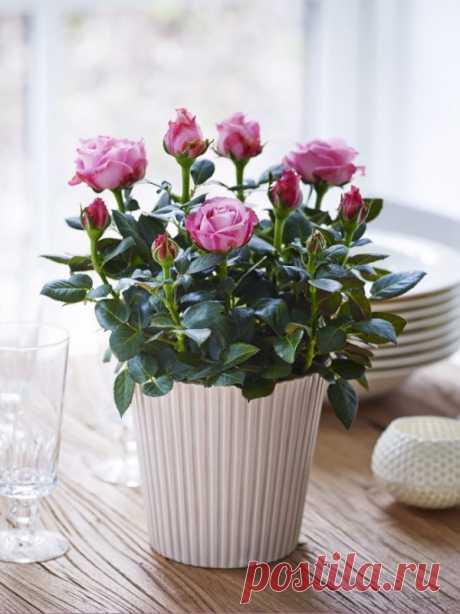Укоренение розы из букета. Простой способ! Проверено-работает!