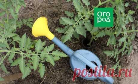 Сколько проживут томаты без воды и можно ли их вообще не поливать | На грядке (Огород.ru)