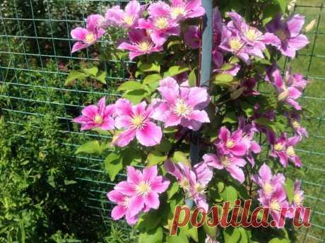 Почему клематис сменил цветение? У меня растёт уже несколько летклематис.Первые два года, кажется, цветы были махровые, а потом все большестали появляться только простые цветы.Знакомая, у которой я брала черенки клематиса, говорит, что цветы у её клематиса всегда были простые. Но я-то помню точно,...