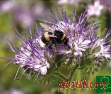 Несколько растений фацелии возле огурцов привлекут не только опылителей, но и энтомофагов Если вы ещё не знакомы с фацелией, посейте у себя на участке это великолепное растение, не пожалеете! Она красива, нетребовательна к почве, засухо- и холодоустойчива, прекрасный медонос и сидерат. Цветы фацелии посещают пчелы, шмели, бабочки, наездники. У нас на участке на цветах фацелии...