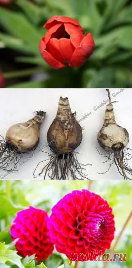 Как правильно высадить луковичные. | Наша дача
