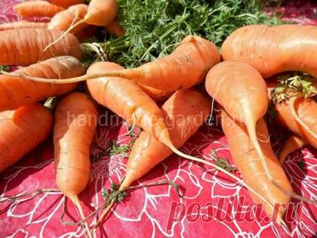 Посадка моркови в апреле 2021 года
