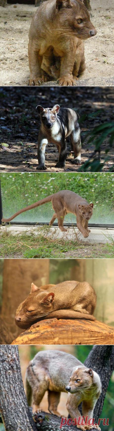 Смотреть изображения фосс | Зооляндия