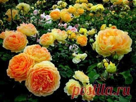 Обильное цветение роз. Применения содовых ванн