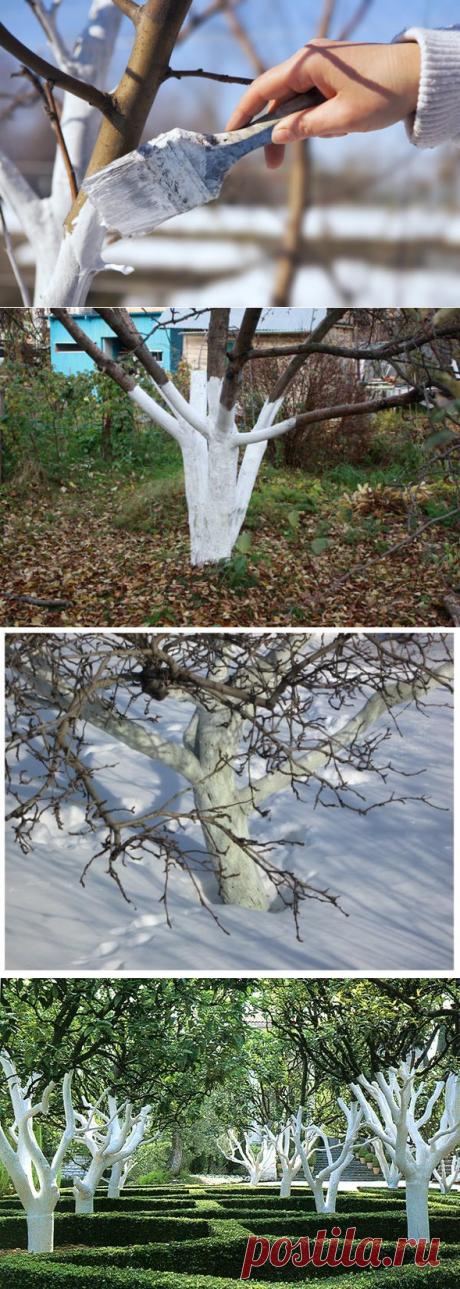 Побелка деревьев: зачем, когда и как белить