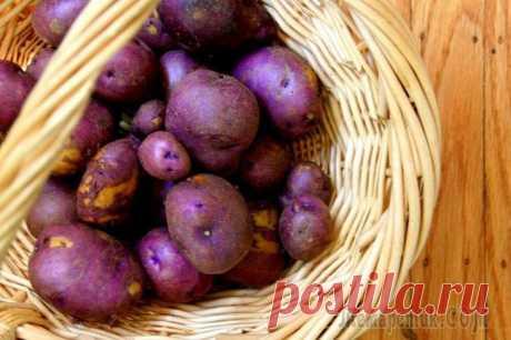 Как вырастить фиолетовую картошку на своем дачном участке